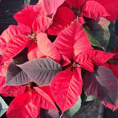 Holiday Poinsettia & Wreath Sale